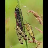 Scorpion Flies Feeding on Burnet Moths