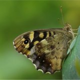 Speckled Wood Undeside