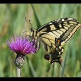 Swallowtail Feeding on Thistle