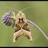 Angle Shades Moth on Devils Bit Scabious