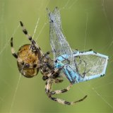 Garden Spider and Common Blue Damselfly