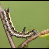 Grey Dagger Larva