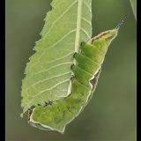 Puss Moth Larva