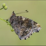 Red Admiral on Goose Grass