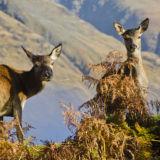 Deer, Glen Etive 2
