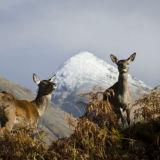 Deer, Glen Etive 4