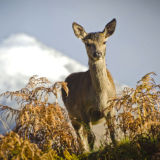 Deer,  Glen Etive 1