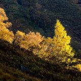 Autumn light on trees, Glen Nevis
