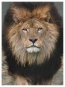 Lion Beauty - DZP