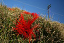 Lomandra Longifolia - Red