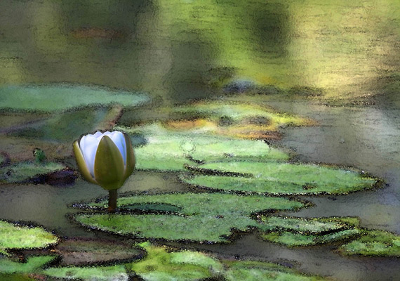 Chinese Water Lily