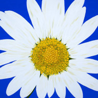 'Oops-a-Daisy' SOLD