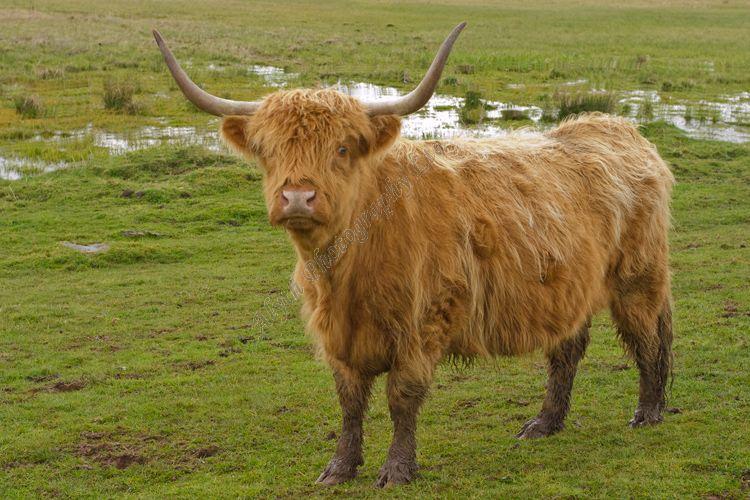 AANWA2678C Highland Cow