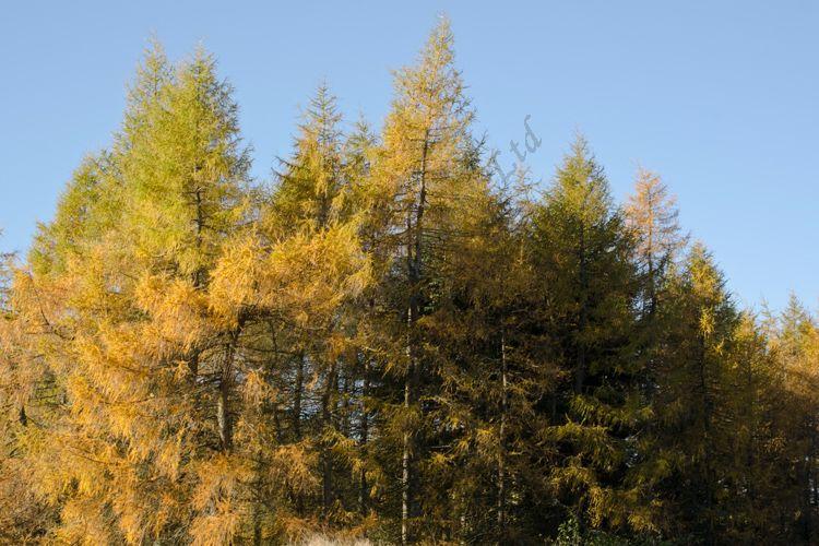 AANWN 4646 Autumn Trees Glenisla