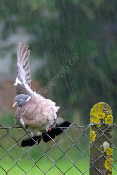 AAPWN Pigeon Enjoying Shower 3104