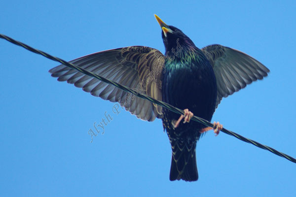 AAPWN Starling on Wire 2626