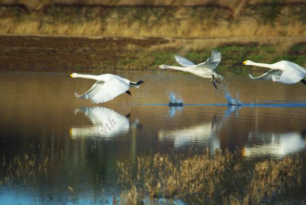 AAPWN Swans Taking Off 1377