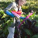 Harvesting chard