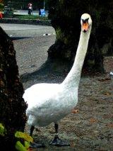 nosey swan, Windermere