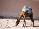 Camel, Agadir