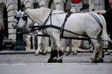 white horses, Vienna