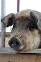 inquisitive pig