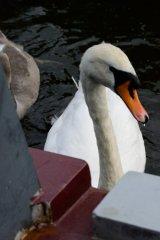 swan swimming alongside