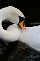 contorting swan