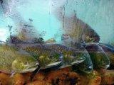 fish in tank, Lake Konigssee