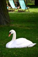 Swan napping in Hyde Park
