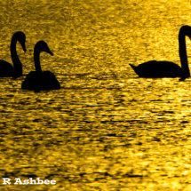 Whooper Swan sunset