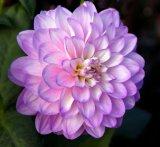 Com blooming beautiful : Pat Johnson