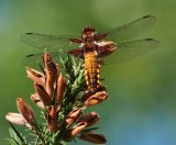 Broad Bodied Chaser : Richard Poyer : Score 12