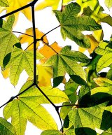 HC Abstract Leaves : Richard Poyer