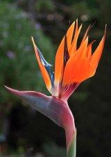 Bird Of Paradise : Helen Holmes : Score 9