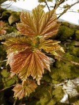 3rd Spring Leaves : Kath Brown