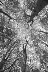 HC Graeme Pattison : Woodland Canopy