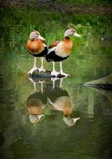 HC Lynn Kerr : Duck Reflections