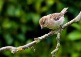 Com Baby Sparrow : Joan Robinson