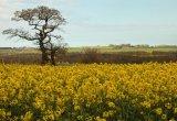 Com Colin Platt : Fields of Gold
