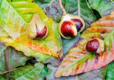 Indian horse chestnuts