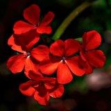 Red Geranium