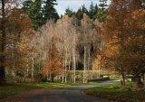 Silver birch in the sun