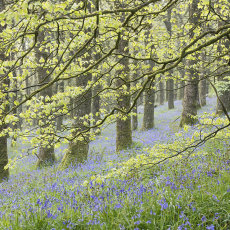 Spring In Burrow Wood