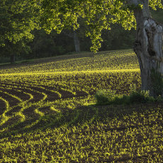 Evening Light On A Crop Field