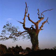 Aging Oak