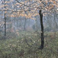 A Winter Wood I