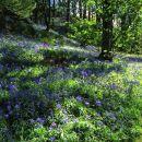 Blustery Bluebells, Marles Wood