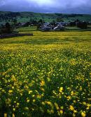 Buttercup Meadow, Rathmell
