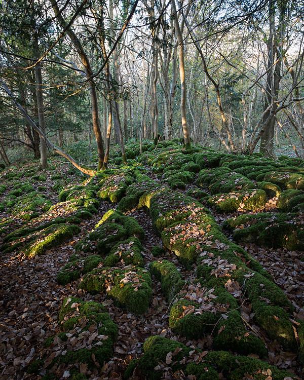 Afternoon Light, Cringlebarrow Wood